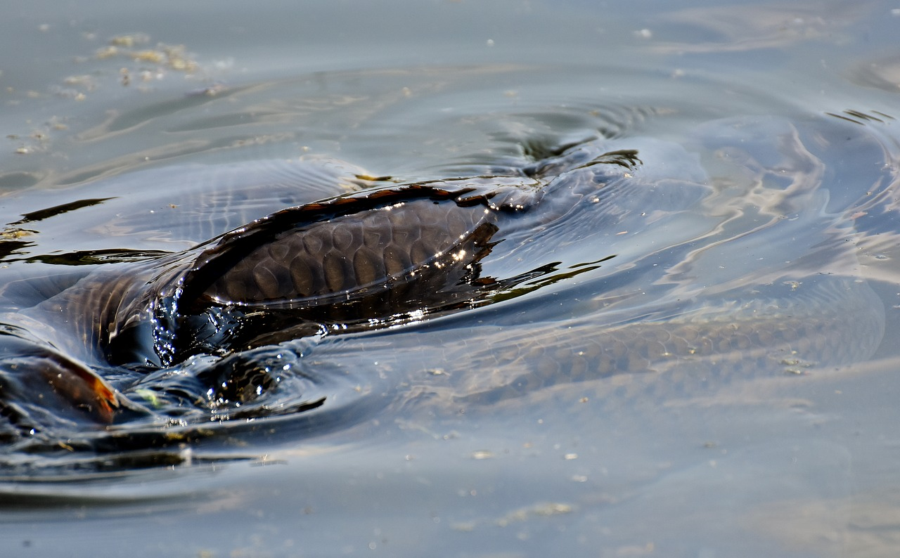 114センチの巨鯉が釣れた日